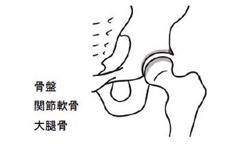 骨盤・関節軟骨・大腿骨